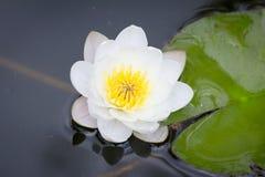 lilly vatten Arkivfoto