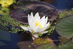lilly vatten Arkivbild