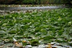 lilly vatten Fotografering för Bildbyråer