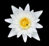 lilly vattenwhite Royaltyfri Bild
