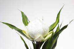 lilly vattenwhite Royaltyfri Fotografi