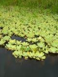 Lilly verdi dell'acqua Fotografie Stock Libere da Diritti