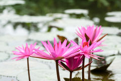 Lilly-Wasser blüht an Suoi-Yen chua Huong Lizenzfreie Stockfotografie