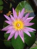 lilly Wasserblume, Lotos Lizenzfreies Stockbild