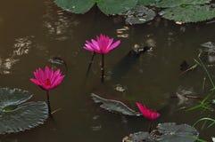 lilly water arkivbild