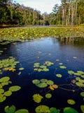 lilly water Στοκ Φωτογραφία