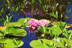 lilly water Στοκ φωτογραφίες με δικαίωμα ελεύθερης χρήσης