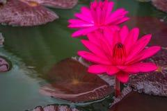 lilly water Στοκ Εικόνες