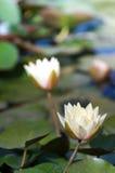lilly water Στοκ εικόνες με δικαίωμα ελεύθερης χρήσης
