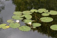 lilly water royaltyfria bilder