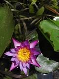 lilly water royaltyfri bild