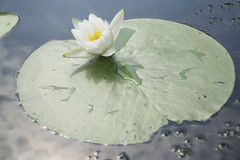 lilly water Στοκ εικόνα με δικαίωμα ελεύθερης χρήσης