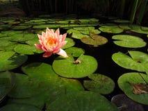 lilly water Royaltyfri Foto