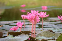 lilly water Fotografering för Bildbyråer