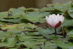 lilly water Royaltyfri Fotografi