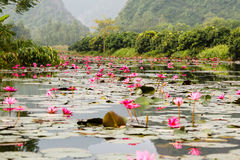 Lilly water Flowers at Suoi Yen chua Huong Royalty Free Stock Photography