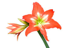 Lilly on white. Closeup of red lilly on white background Royalty Free Stock Photo