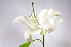 lilly white Arkivbild