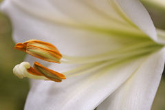 lilly white Royaltyfri Fotografi