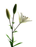 Lilly white. White lilly in bloom isolated on white with blossom Stock Photos