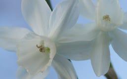lilly white Fotografia Royalty Free