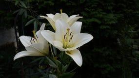 lilly white zdjęcia royalty free