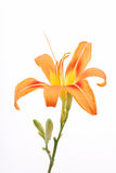 Lilly on white background royalty free stock image