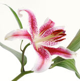 Lilly on white background Stock Photography