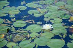 The Lilly. A white Lilly on a pond at the Chicago Botanical Gardens stock images
