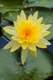 lilly woda żółty Zdjęcie Royalty Free