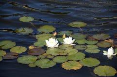 lilly woda Zdjęcia Stock
