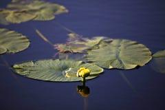 lilly woda Obrazy Stock