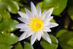 lilly wodny biały kolor żółty Obraz Royalty Free