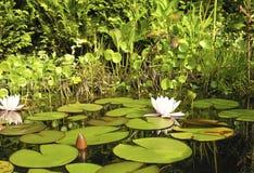 lilly wody Zdjęcie Royalty Free