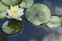 lilly wody Obrazy Stock