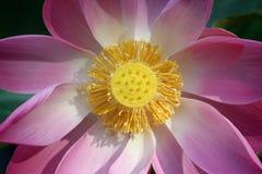 lilly wody Fotografia Royalty Free