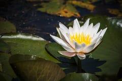 lilly wody Fotografia Stock