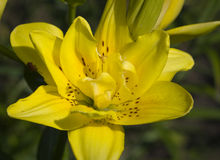 lilly yellow Arkivfoton