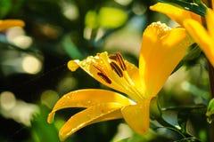 lilly yellow Fotografering för Bildbyråer