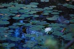 Lillypad покрыло озеро Стоковое Изображение