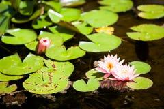 Lillypads在池塘 免版税库存图片