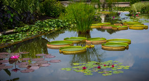 Variety of lillypads in pont Royalty Free Stock Photography