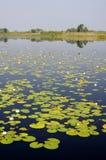 Lillypads in een moeras van Florida Stock Afbeeldingen
