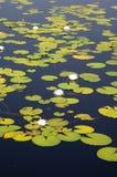 Lillypads in einem Florida-Sumpf lizenzfreies stockfoto