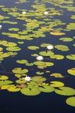 Lillypads en un pantano de la Florida Imagen de archivo libre de regalías