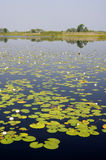 Lillypads in a Florida swamp Stock Images