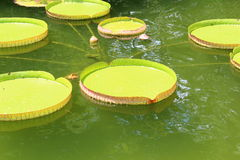 Lillypads giganti Immagine Stock