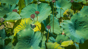 LillyPads_2 Stock Photography