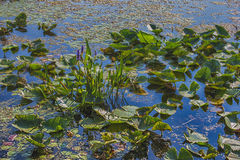 Lillypads op water Royalty-vrije Stock Afbeeldingen
