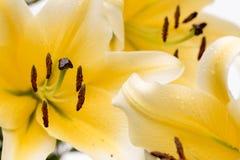 Lillys amarelo gigante fotografia de stock